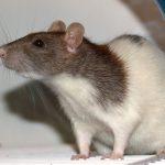 Jaulas para ratas