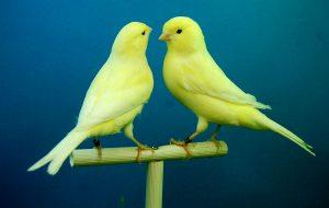 Jaulas cría canarios