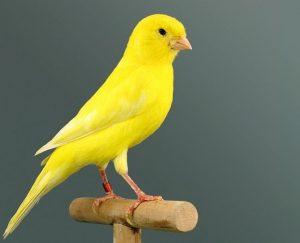 Jaulas canarios amarillos
