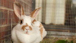 Conejo de cría en jaula